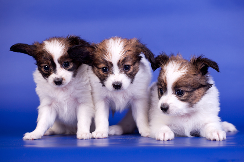 Three Papillon Puppies, Continental Toy Spaniel, 1 mounth old, on a blue background